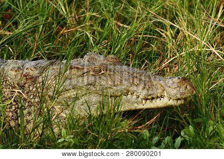 A Portrait Of A Crocodile Hiding In The Grass Of A River Shoreline.