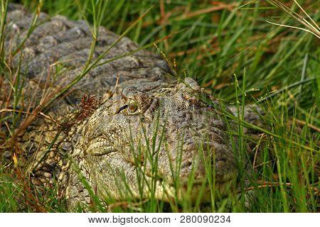 A Closeup Of A Single Crocodile Hiding In The Grass Along The Shorline Of A River.