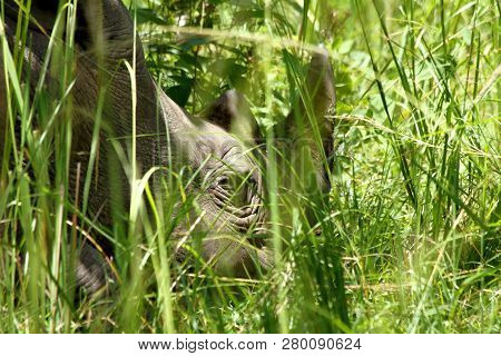 A Close Up Of A Rhinoceros Head Hiding Among Long Grass In The Ziwa Rhino Sanctuary In Uganda