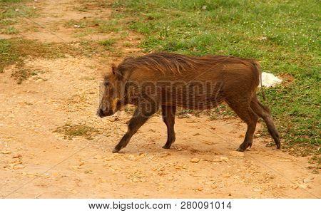 A Warthog Walks Through Safari Camp On The Road