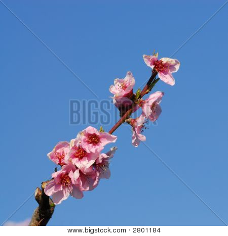 Peach-Tree Blossoms Early In Spring