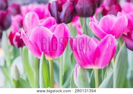 Tulip Flower. Flower In Garden At Sunny Summer Or Spring Day. Flower For Postcard Beauty Decoration