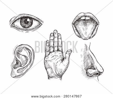 Sense Organs. Hand Drawn Mouth And Tongue, Eye, Nose, Ear And Hand Palm. Engraving Five Senses Vecto