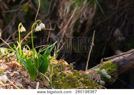 First Flowers In Springtime. Spring Snowflake Also Called Leucojum On A Blurred Background Of Forest