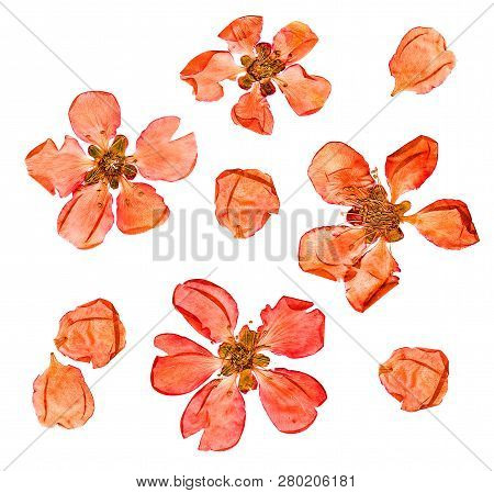 Closeup Pressed And Dry  Large Pale Red Flowers And Petal Set Of Quince Plant. Blossom Of Japonica C