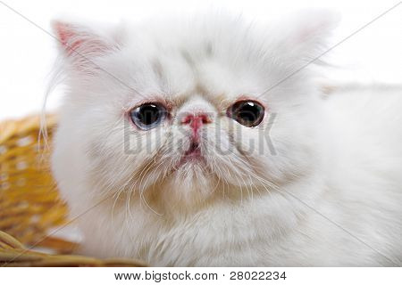 white persian cat isolated on white background poster