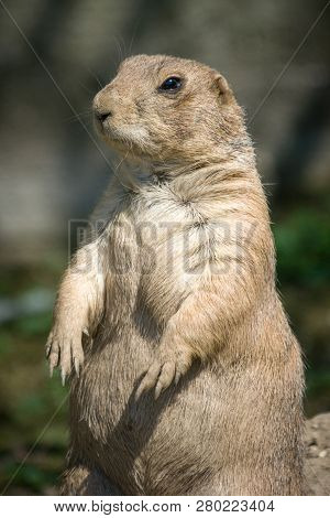 The European Ground Squirrel (spermophilus Citellus), Also Known As The European Souslik.