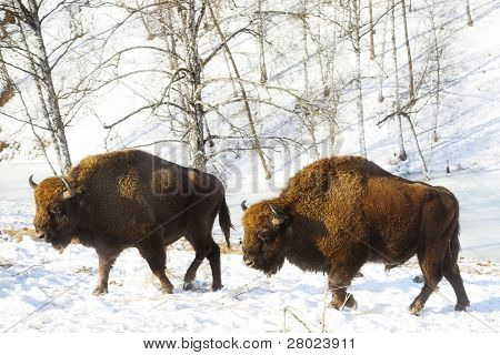two big bisons in the winter forest