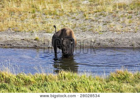 Bison on a watering place in well-known Yellowstone national park poster