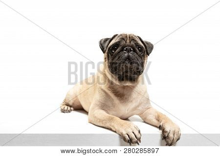 Cute Pet Dog Pug Breed Sitting And Smile With Happiness Feeling So Funny And Making Serious Face. Pu