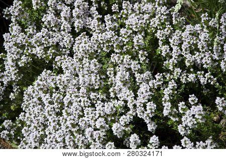 The Power Of Flowers. Blossoming Flowers In Summer Garden. White Flowers Blossoming In Park Garden.
