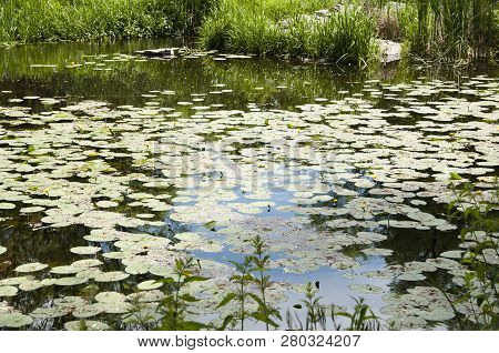 Be Calm Like A Calm Lake. Pond In Summer. Pond Landscape. Lily Pond In Summer Park. Garden Pond On N