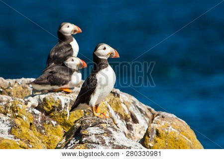 Puffin Colony At The Isle Of May In Scottland, Uk