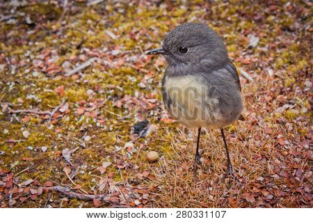 South Island Robin In Nelson Lakes National Park In Nz