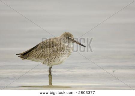 Juvenile Willet Walking The Shoreline