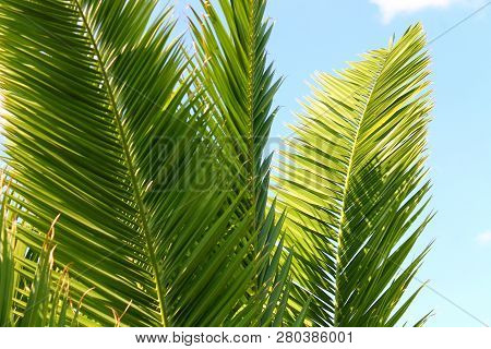 Mehrere Grüne Palmenwedel Vor Strahlend Blauem Himmel