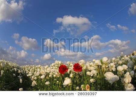 """The magnificent spring field of blossoming white and red buttercups photographed by a lens """" Fisheye"""""""