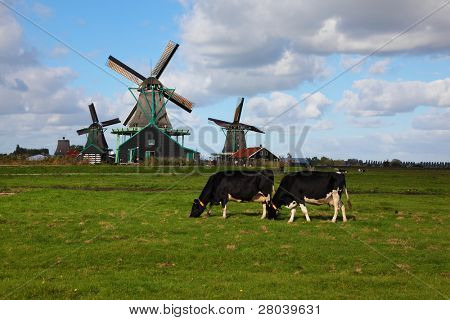 Windmills  and cows in museum village in Holland. Good autumn day poster