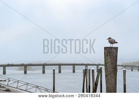 Seagull Stands On Dock Piling On Foggy Sheepscot River