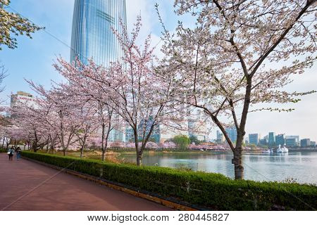 SEOUL, SOUTH KOREA - APRIL 7, 2017: Blooming sakura cherry blossom alley in park in spring with Lotte World tower in background, Seokchon lake park,  Seoul, South Korea