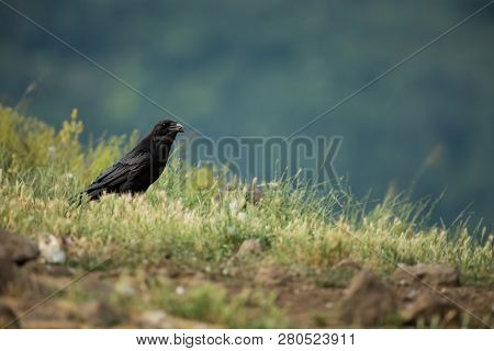 Corvus Corax. The Wild Nature Of Bulgaria. Free Nature. A Beautiful Picture Of Nature. Rhodopes. Mid