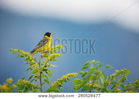 Emberiza Melanocephala. The Wild Nature Of Bulgaria. Free Nature. A Beautiful Picture Of Nature. Rho