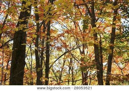 leaves changing colors in the Allegheny National Forest in fall