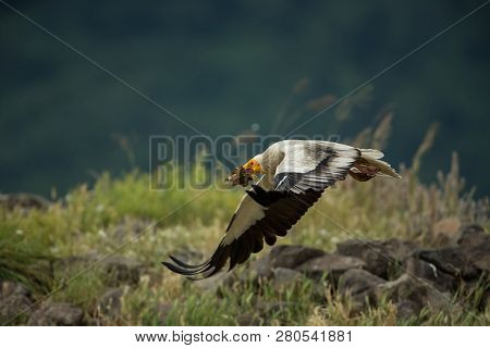 Neophron Percnopterus. The Wild Nature Of Bulgaria. Free Nature. A Beautiful Picture Of Nature. Rhod