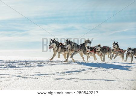 A Team Of Four Husky Sled Dogs Running On A Snowy Wilderness Road. Sledding With Husky Dogs In Winte