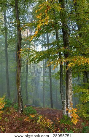 Blue Foggy Morning In Autumn Forest. Beautiful Nature Scenery. Mix Of Yellow And Green Foliage On Tr