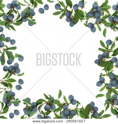 Sloe berry abstract border on white background with copy space. Also known as blackthorn.