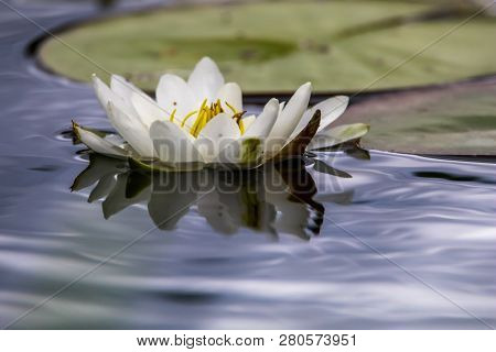 White Water Lilies Bloom In The River, Latvia. Water Lily Flower With Green Leaves In The Water. Whi