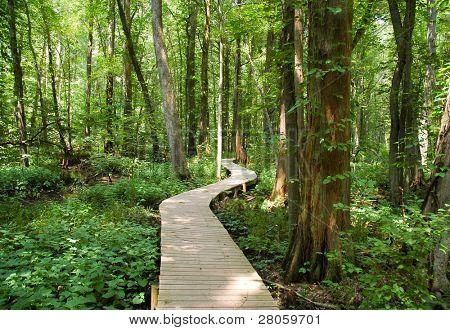 boardwalk and cypress tree swamp