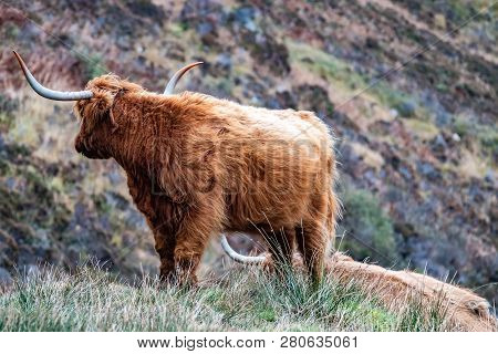 Hairy Scottish Highlander - Highland Cattle - Next To The Road, Isle Of Skye