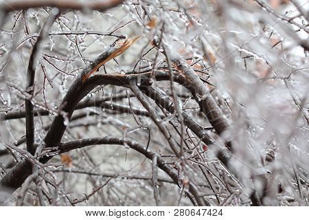 Freezing Rain. Branch Broken By Freezing Rain Freezing Rain. Temperatures Below Freezing By The Ambi