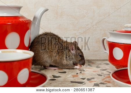 Closeup The Rat (rattus Norvegicus) Eats Near Teapot On Countertop At Kitchen In An House.