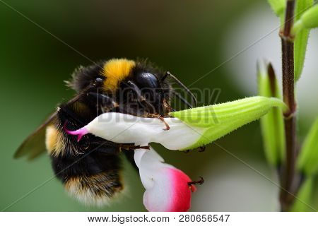 Macro Shot Of A Bumble Bee Pollinating A Red And White Salvia Flower