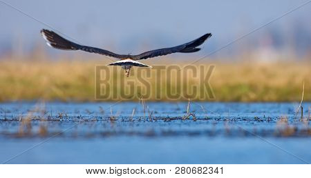 Northern Lapwing In The Flight Backview Over Water Pond