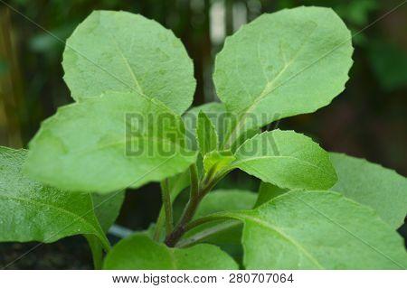 Longevity Spinach, Gynura Sp., Central Of Thailand