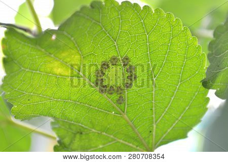 Insect Under Mulberry Leaf From Central Of Thailand