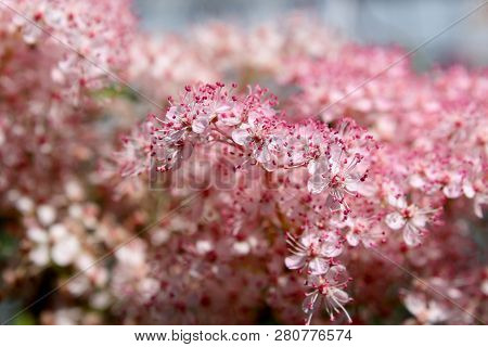 Gorgeous Pink Flowers With Dainty Petals Thriving Under Warm Sunny Skies Of Springtime.