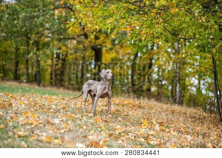 Weimaraner posing on a meadow in autumn leaves poster