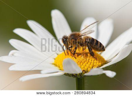 Detail Of Bee Or Honeybee In Latin Apis Mellifera, European Or Western Honey Bee Sitting On White Fl
