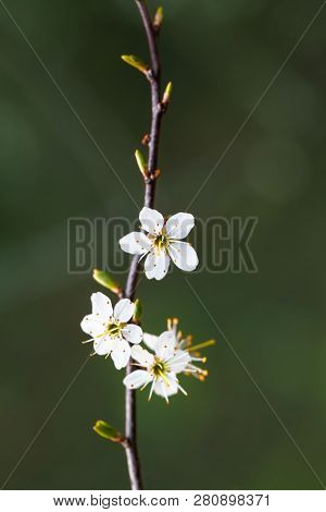 Stamina Of Small White Blossoms At Spring (copy Space)