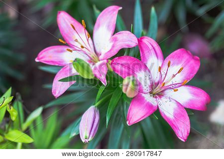 Pink Lily Flower. Beautiful Lily Flower In Lily Flower Garden. Lily Lilium Hybrids Flower. Lily Flow