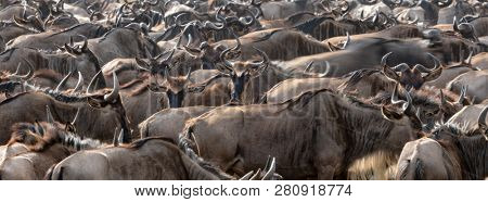 Crowded white-bearded wildebeest in the Masai Mara for the annual great migration. Every year 1.5 million wildebeest make the journey between Tanzania and Kenya.Popular social media banner proportions