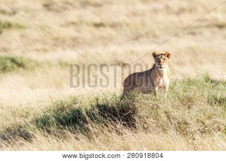 Young adult lioness watches from a mound in the long grass of the Masai Mara. This slightly elevated vantage point gives her an advantage when looking for prey. Horizontal landscape format.