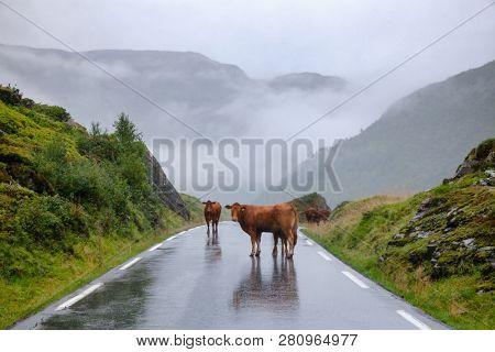 Rree range cattle standing on a mountain road in Norway, Scandinavia - animal road hazard concept