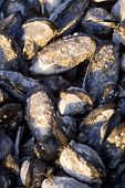 Detail of a group of mussels on the Pacific coast poster