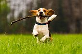 Dog Beagle having fun with a stick on a green field during spring runs towards camera poster